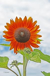 Summers Gift . . .A Sunflower Image